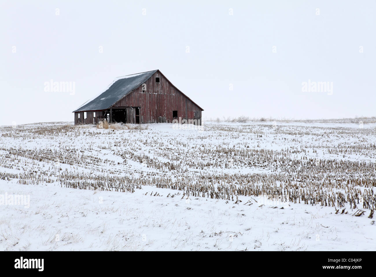 Old red weathered barn in the middle of field surrounded by cornstalks. Iowa - Stock Image