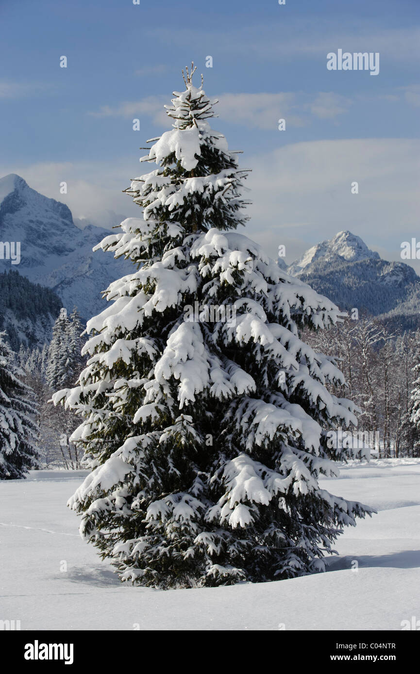 single fir tree in fresh snow at winter in bavaria, germany - Stock Image