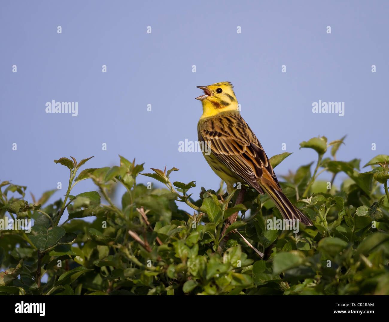 Yellowhammer singing - Stock Image