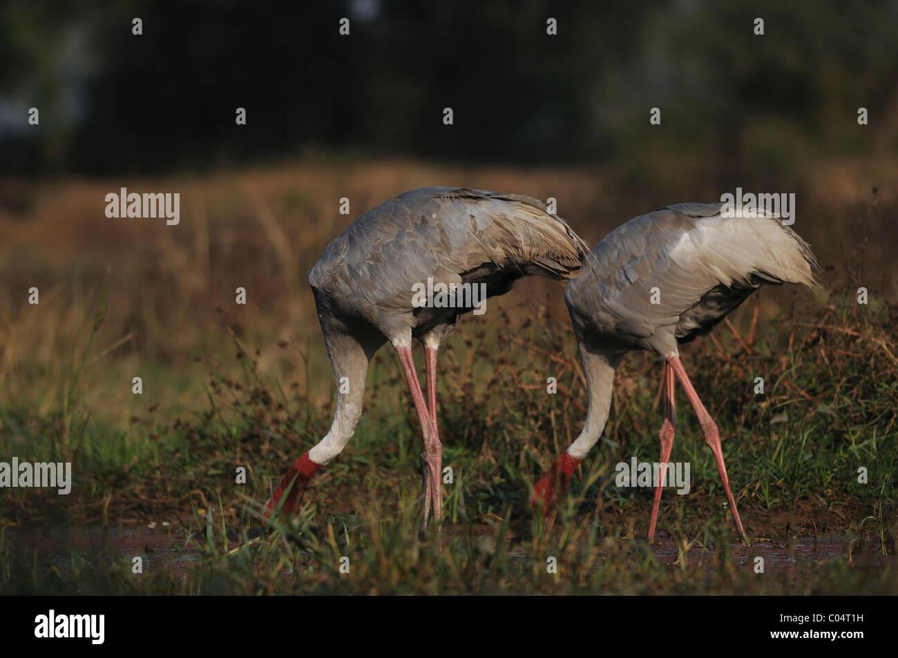 Sarus Crane couple feeding in Keoladeo Ghana National Park, Bharatpur, India - Stock Image