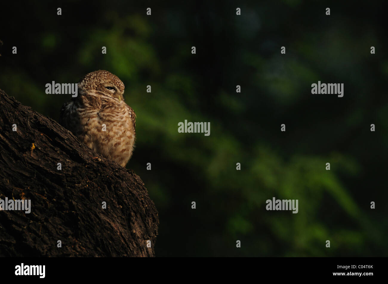 A spotted owlet sunning itself on a winter morning in Keoladeo Ghana National Park, Bharatpur, India - Stock Image