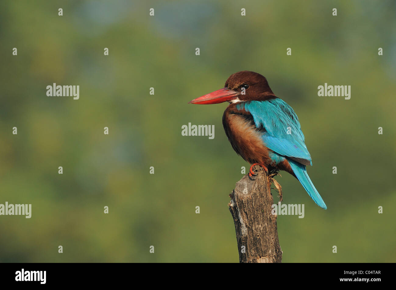A white-throated kingfisher on a tree stump in Keoladeo Ghana National Park, Bharatpur, India - Stock Image