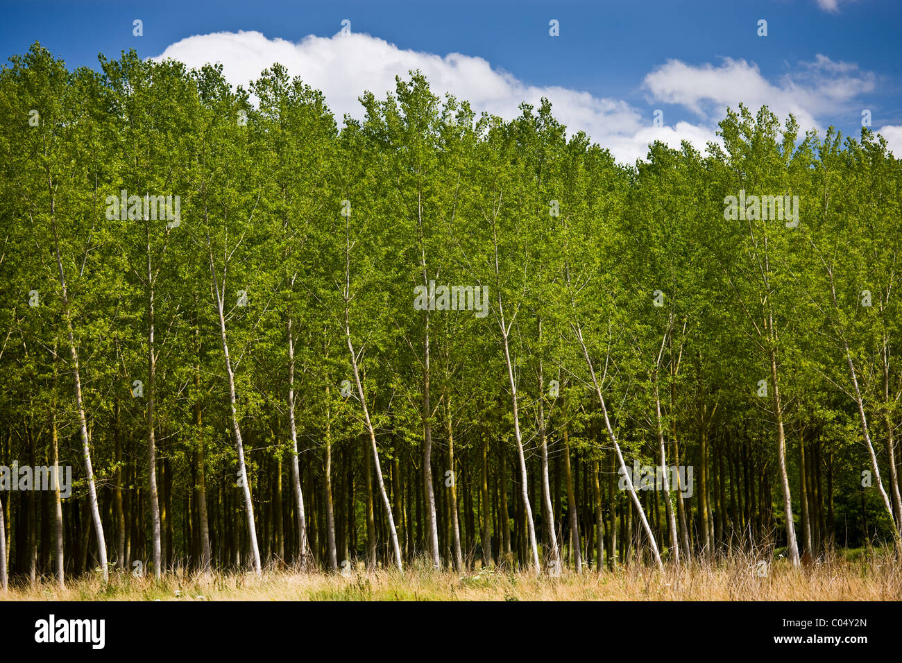 Copse of silver birch trees at Rigny Usse in the Loire Valley - Stock Image