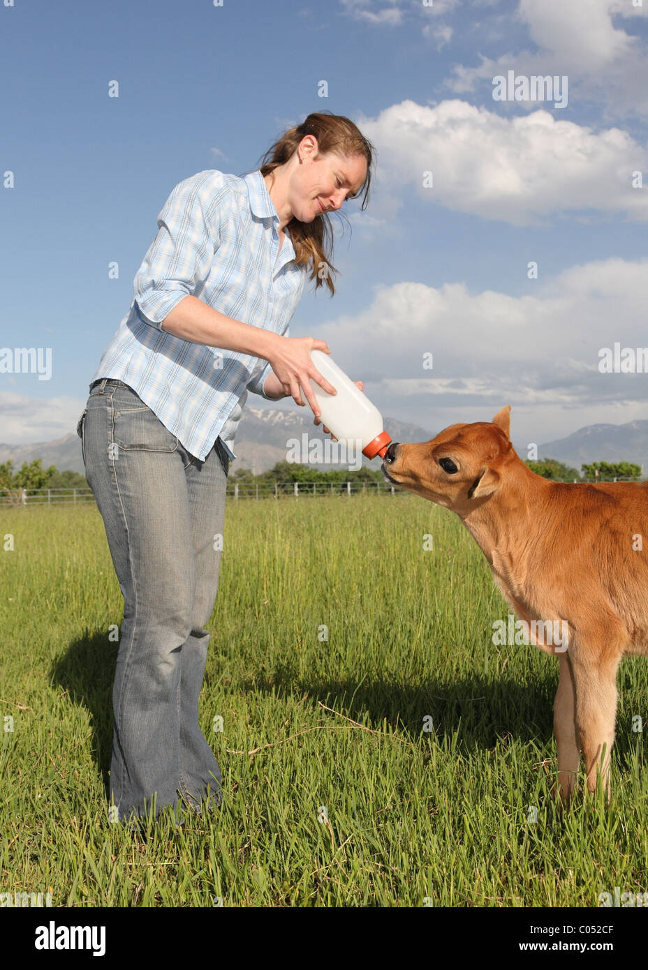 woman in her thirties feeding bottle to baby calf - Stock Image