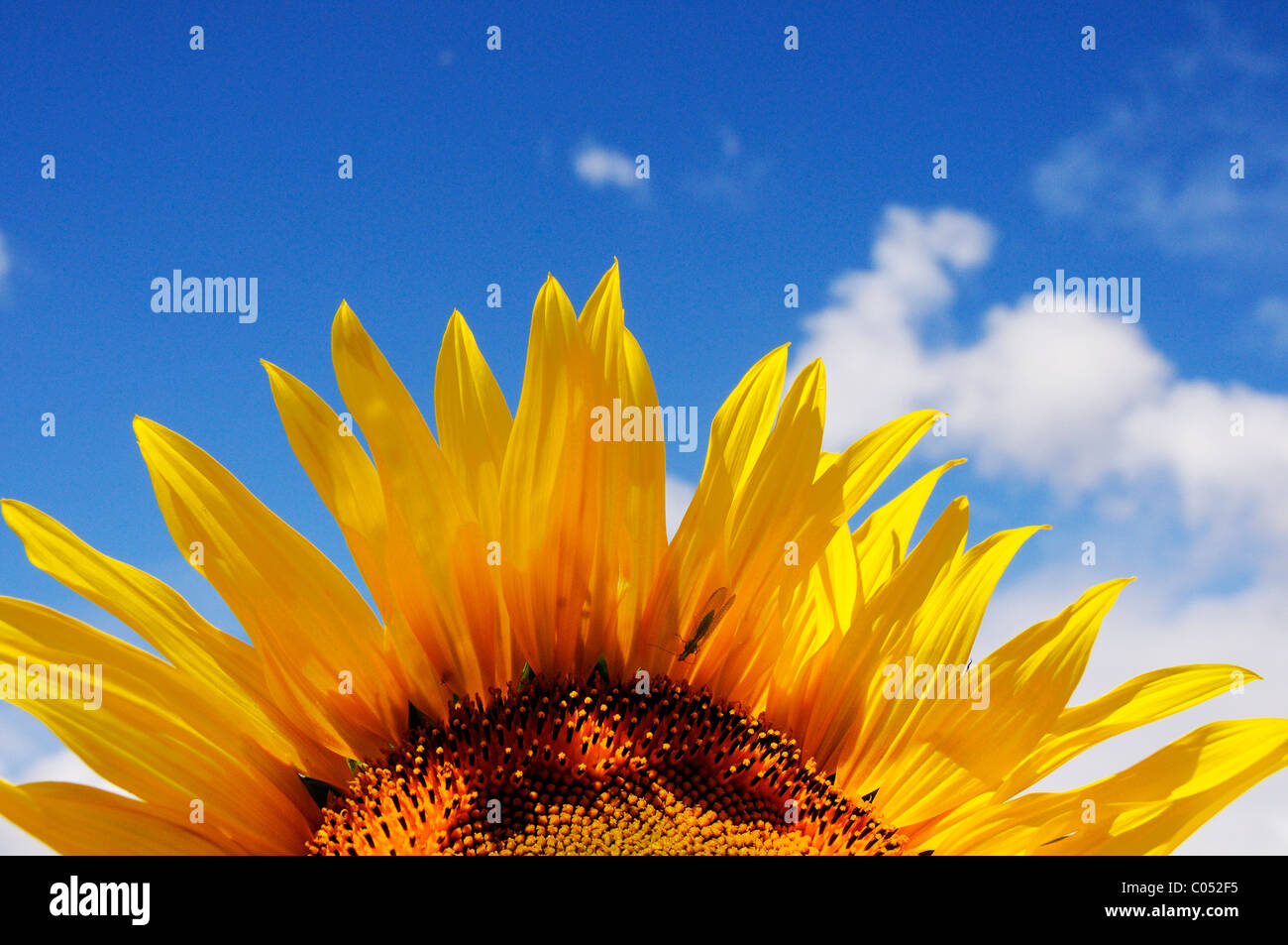 Sunflowers against a clear blue sky - Stock Image