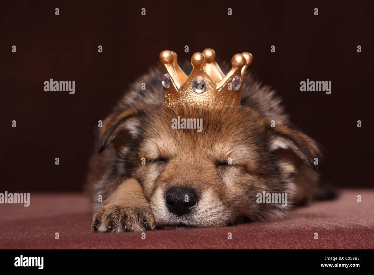 sleeping Saarloos Wolfdog puppy - Stock Image