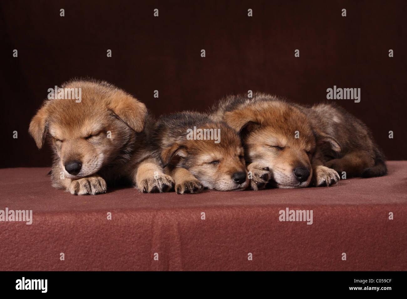 sleeping Saarloos Wolfdog puppies - Stock Image