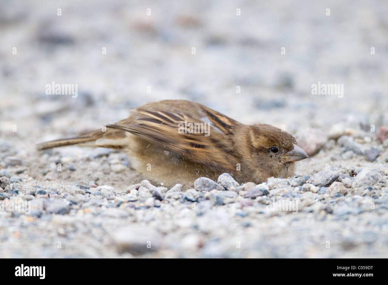 House Sparrow; Passer domesticus; female; dust bathing; Cornwall - Stock Image