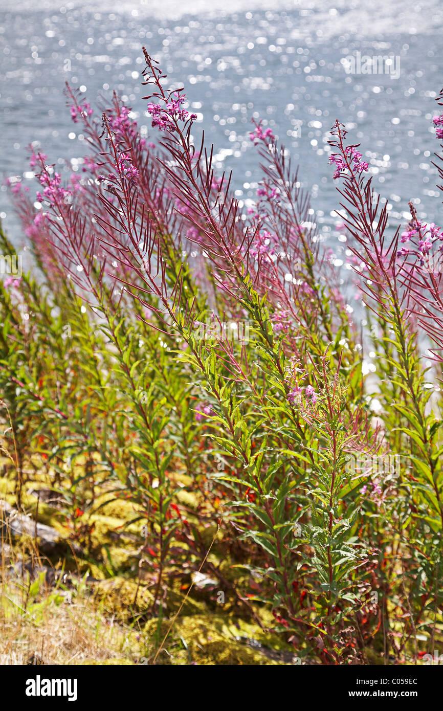 Rosebay willow - herb, ( Epilobium,angustifolium) - fireweed growing on the bank of a reservoir. Stock Photo