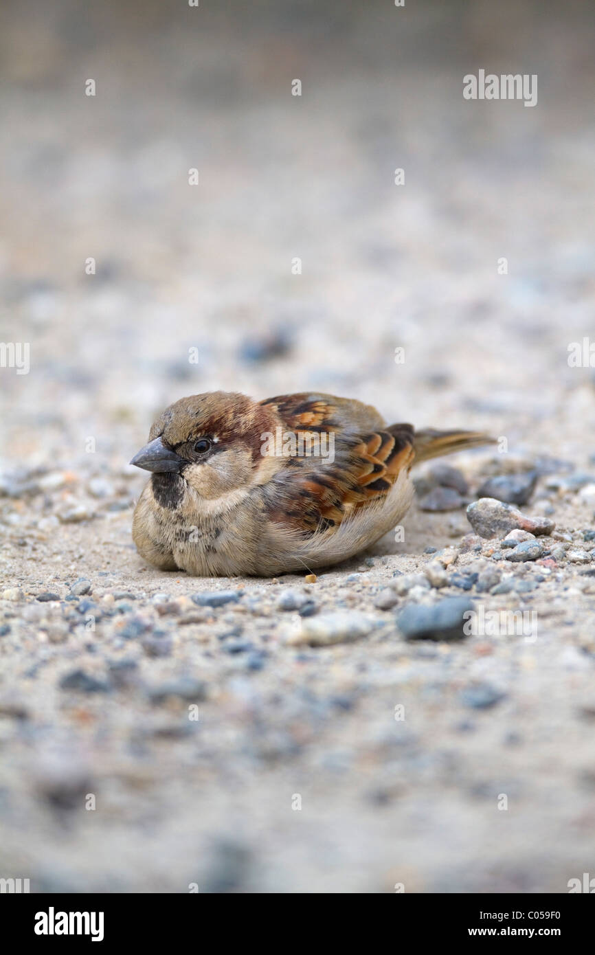 House Sparrow; Passer domesticus; male; dust bathing; Cornwall - Stock Image
