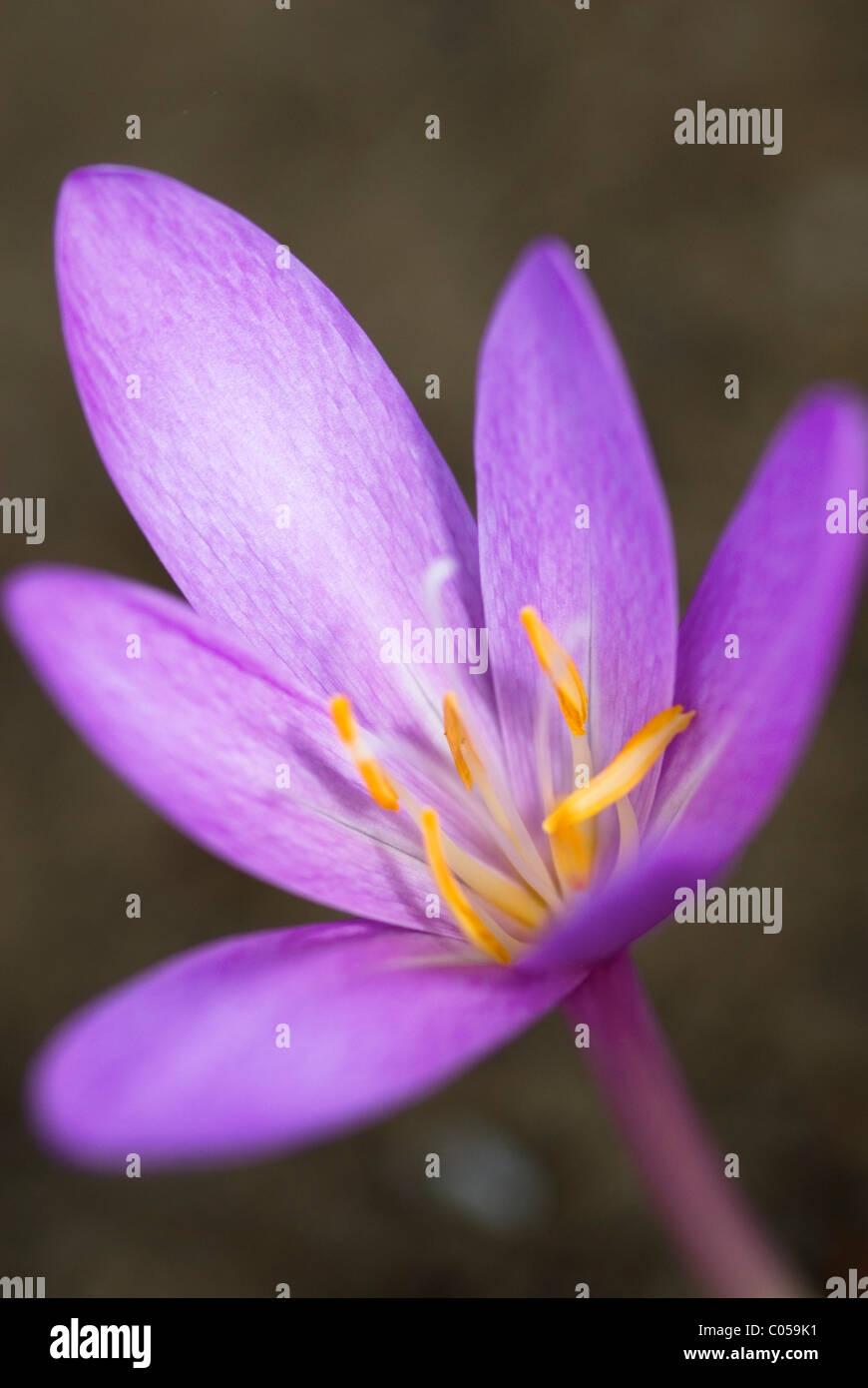 Croco Di Autunno Di Bloomnig & X28; Colchicum Autumnale
