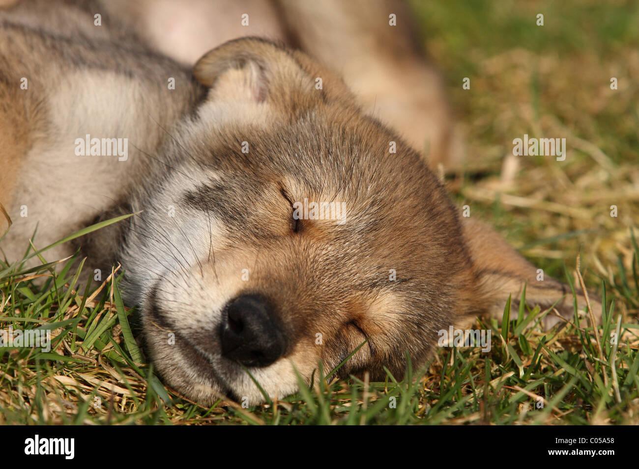Saarloos Wolfdog Puppy Stock Photo
