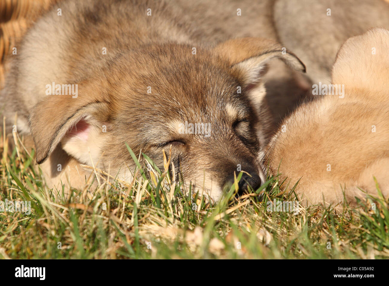 Saarloos Wolfdog Puppy Stock Photo