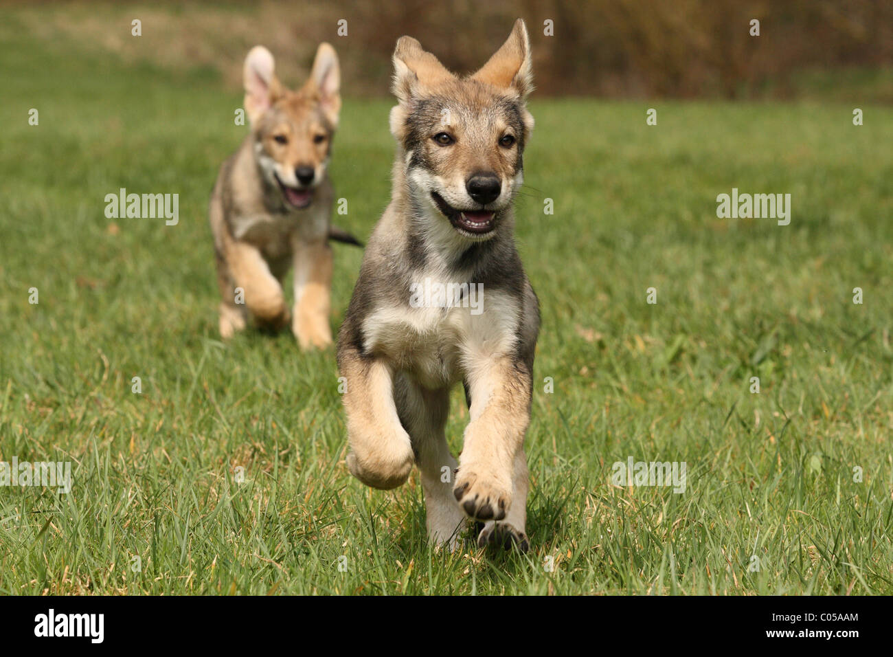 Saarloos Wolfdog Stock Photos & Saarloos Wolfdog Stock