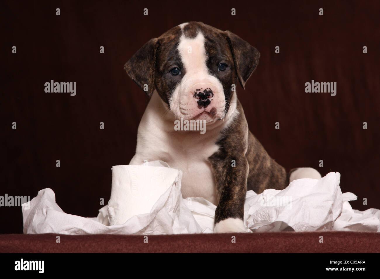 American Bulldog Puppy - Stock Image