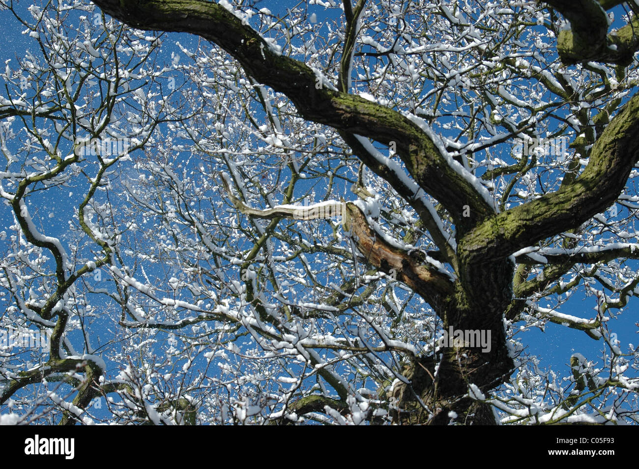 A tree with snow on branches in The National Forest, Derbyshire UK. - Stock Image