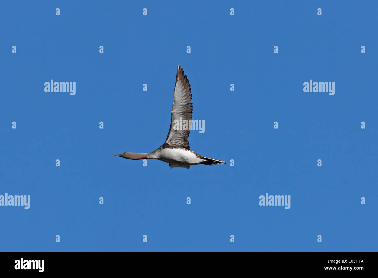Red-throated Diver (Gavia stellata) in flight, Sweden - Stock Image