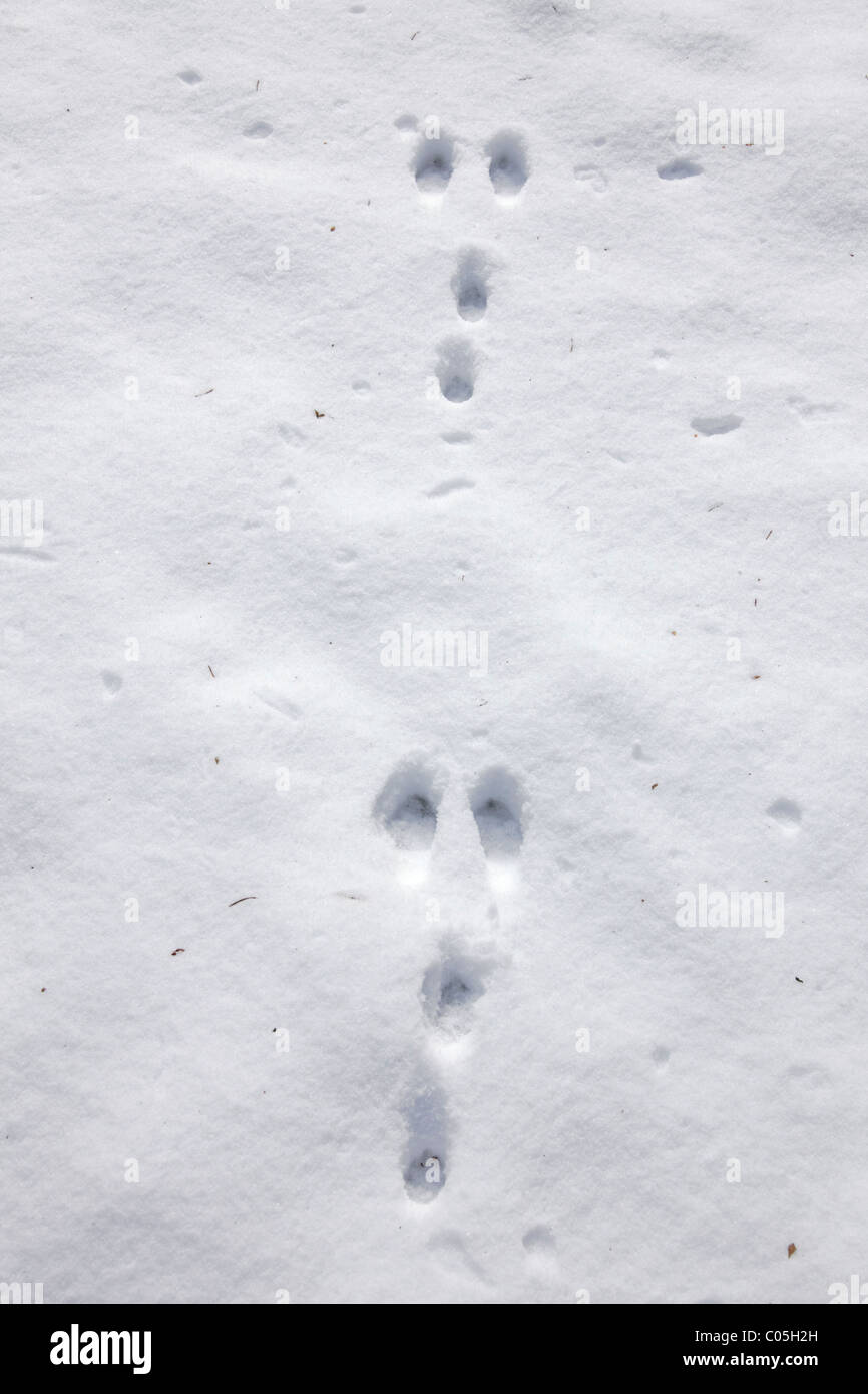 Wild rabbit (Oryctolagus cuniculus) footprints in the snow in winter, Germany - Stock Image