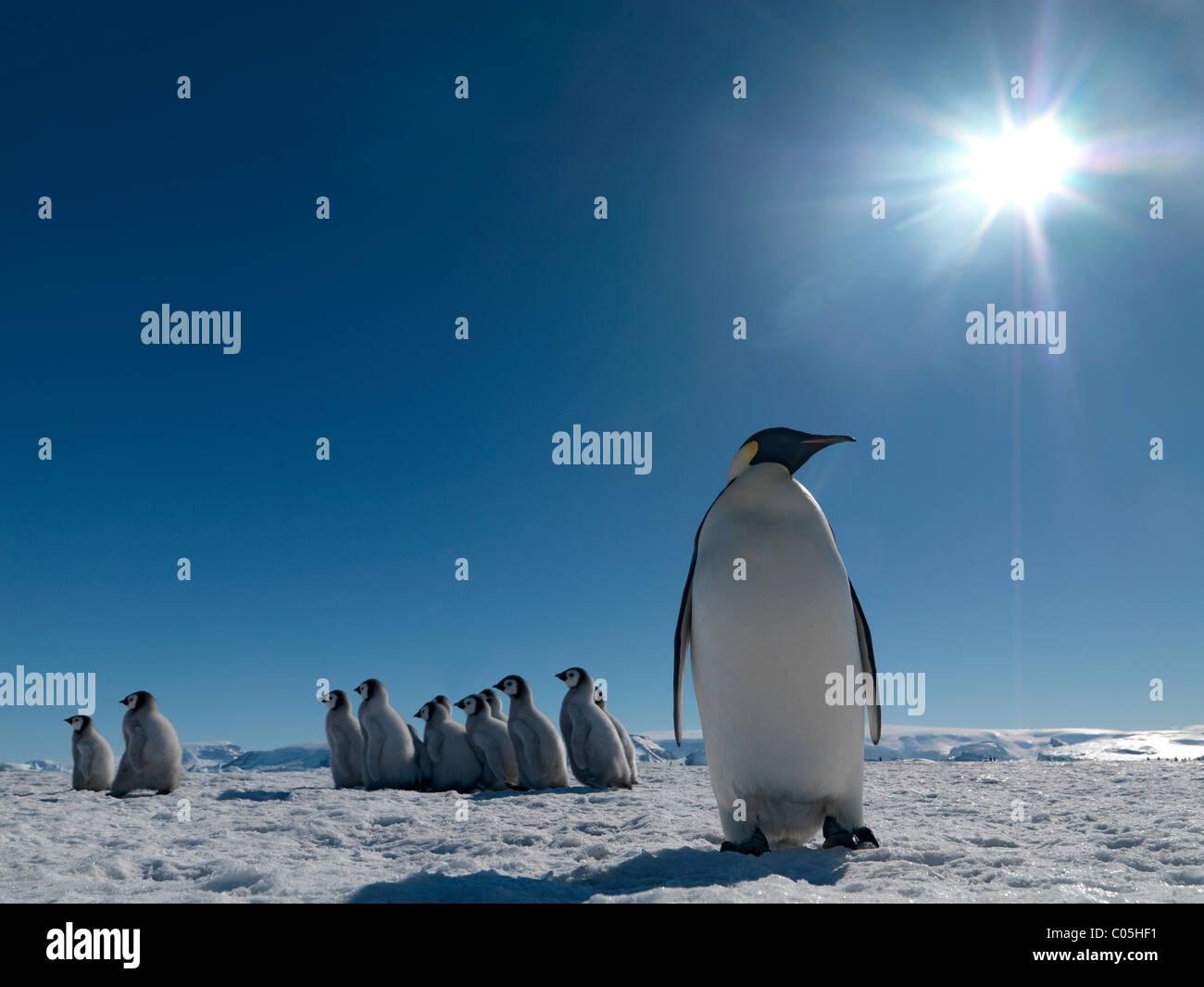 Emperor penguins 'kindergarten', October, Snow Hill Island, Weddell sea, Antarctica - Stock Image