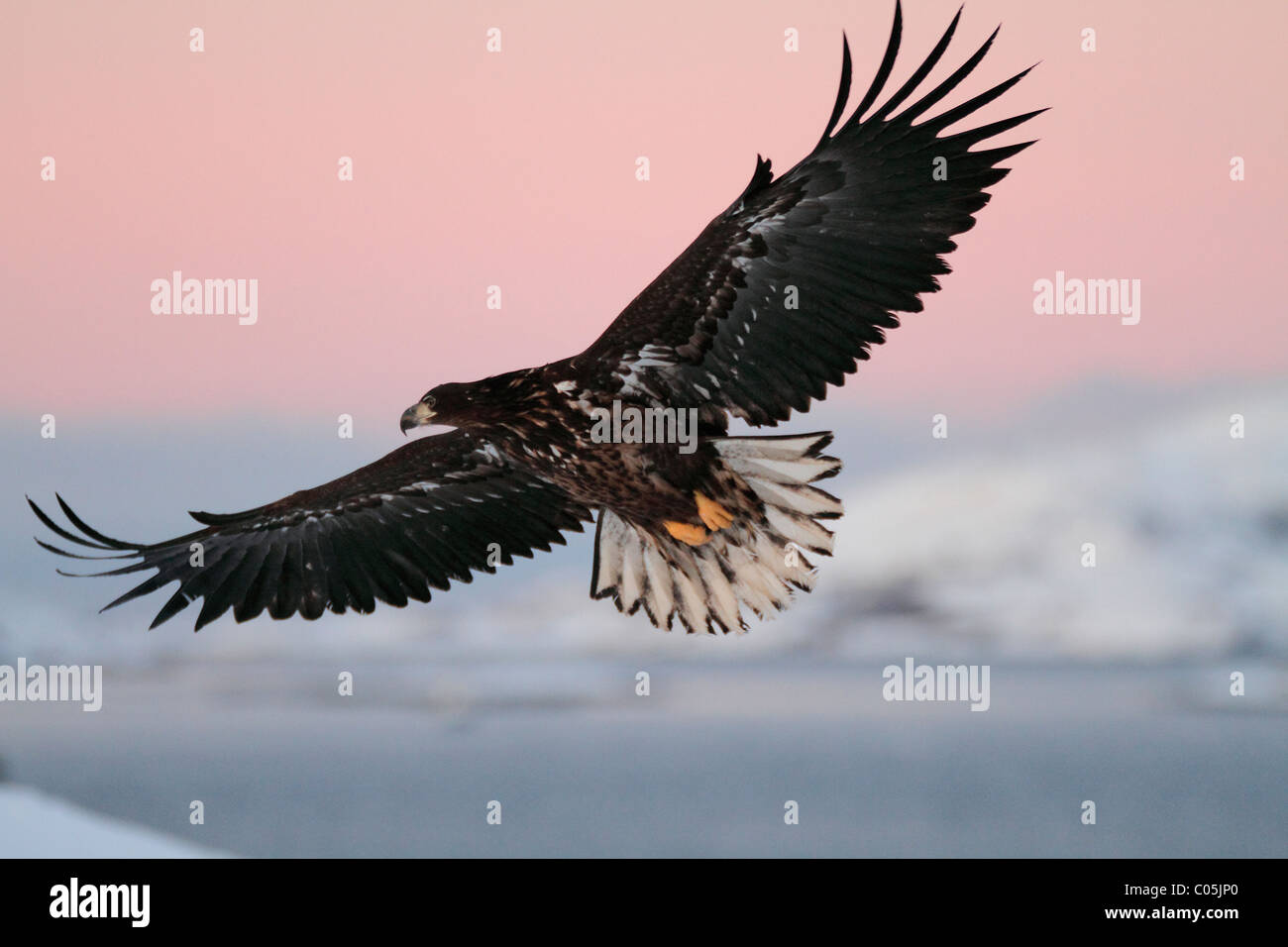 White-tailed eagle in winter coastal landscape in January, Norway - Stock Image