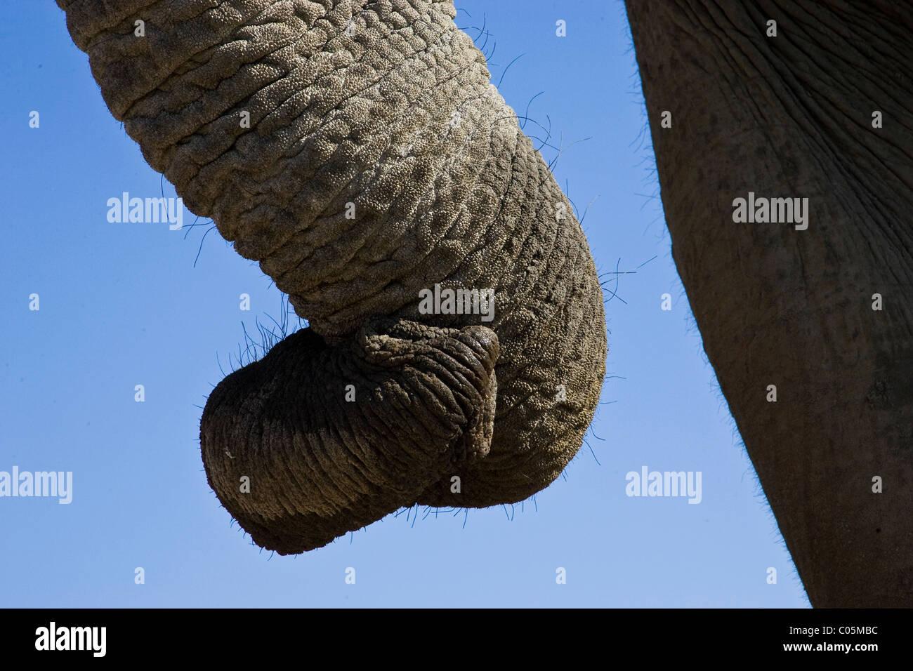 Elephant Trunk, Etosha National Park, Namibia - Stock Image
