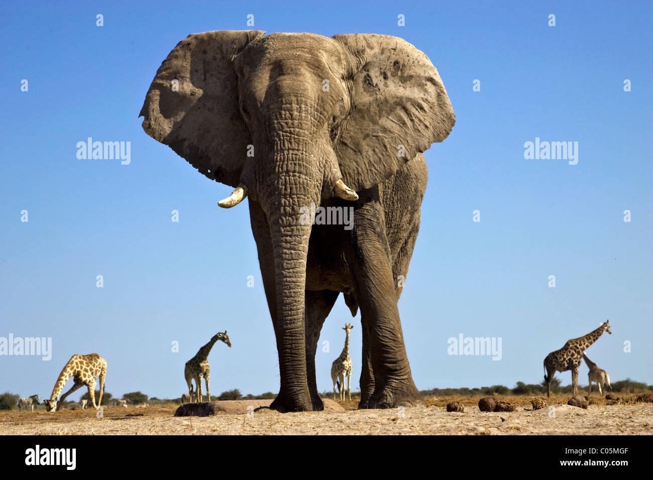 Elephant and Giraffes, Etosha National Park, Namibia - Stock Image