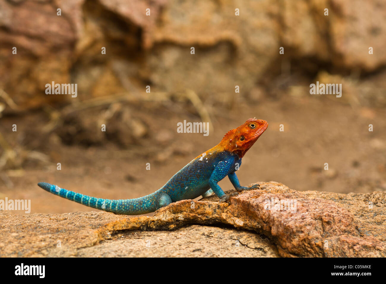 A male agama lizard warming himself on a sandy coloured rock in the Kenyan morning sun. The lizard is bright blue - Stock Image