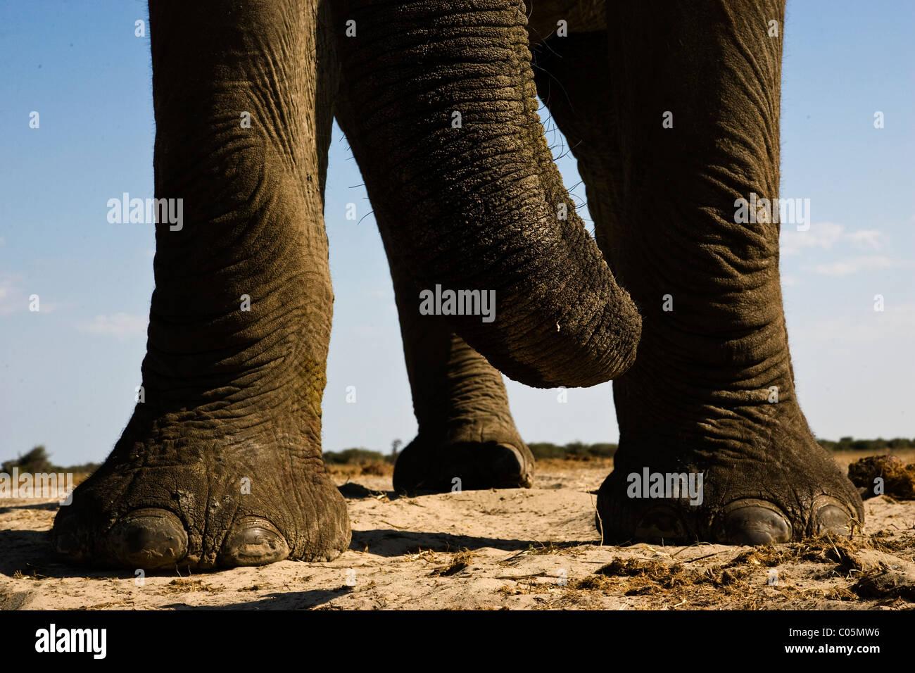 Elephant's trunk & feet, Etosha National Park, Namibia - Stock Image