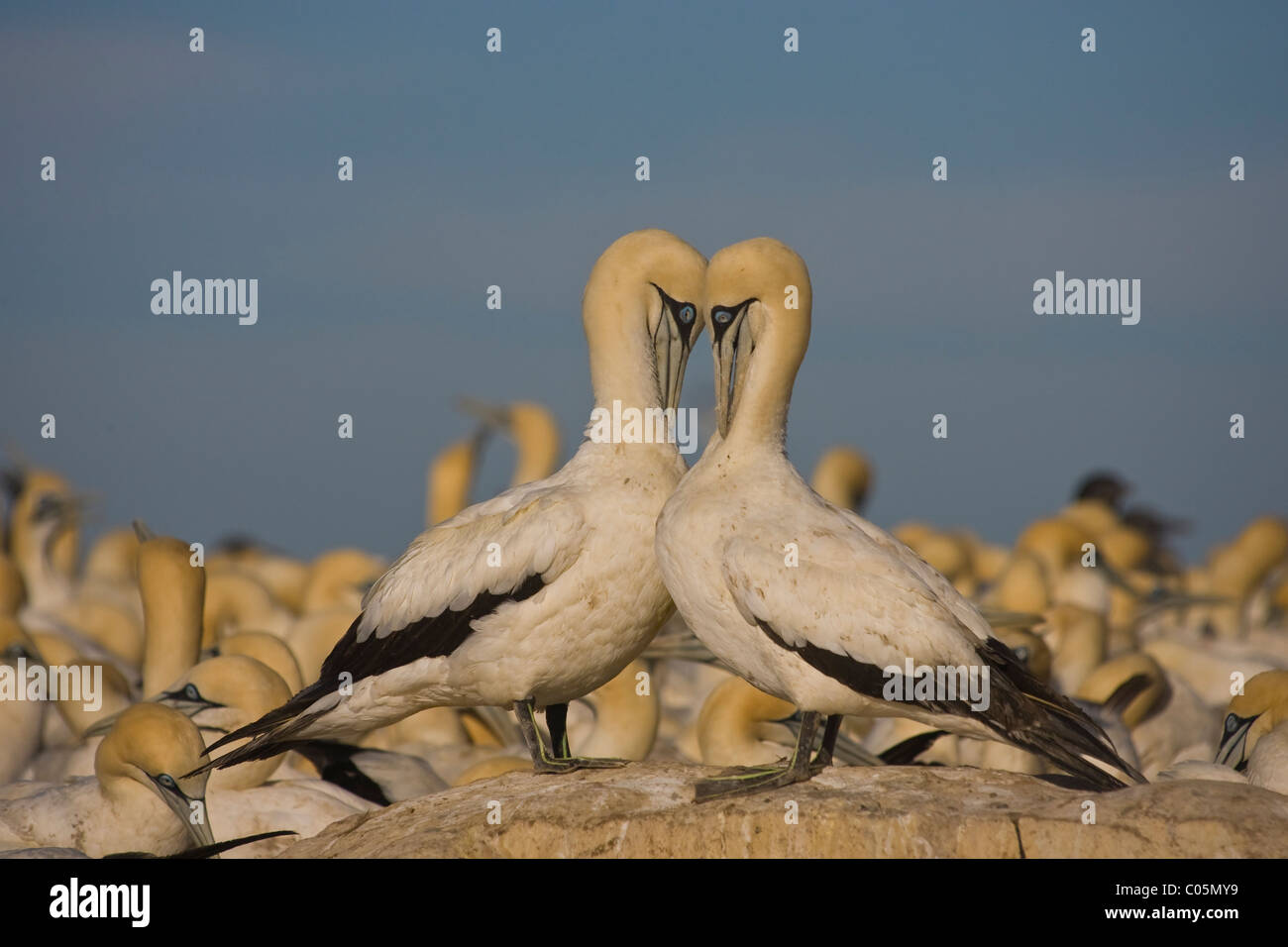 Cape Gannets Preening, Bird Island, South Africa - Stock Image