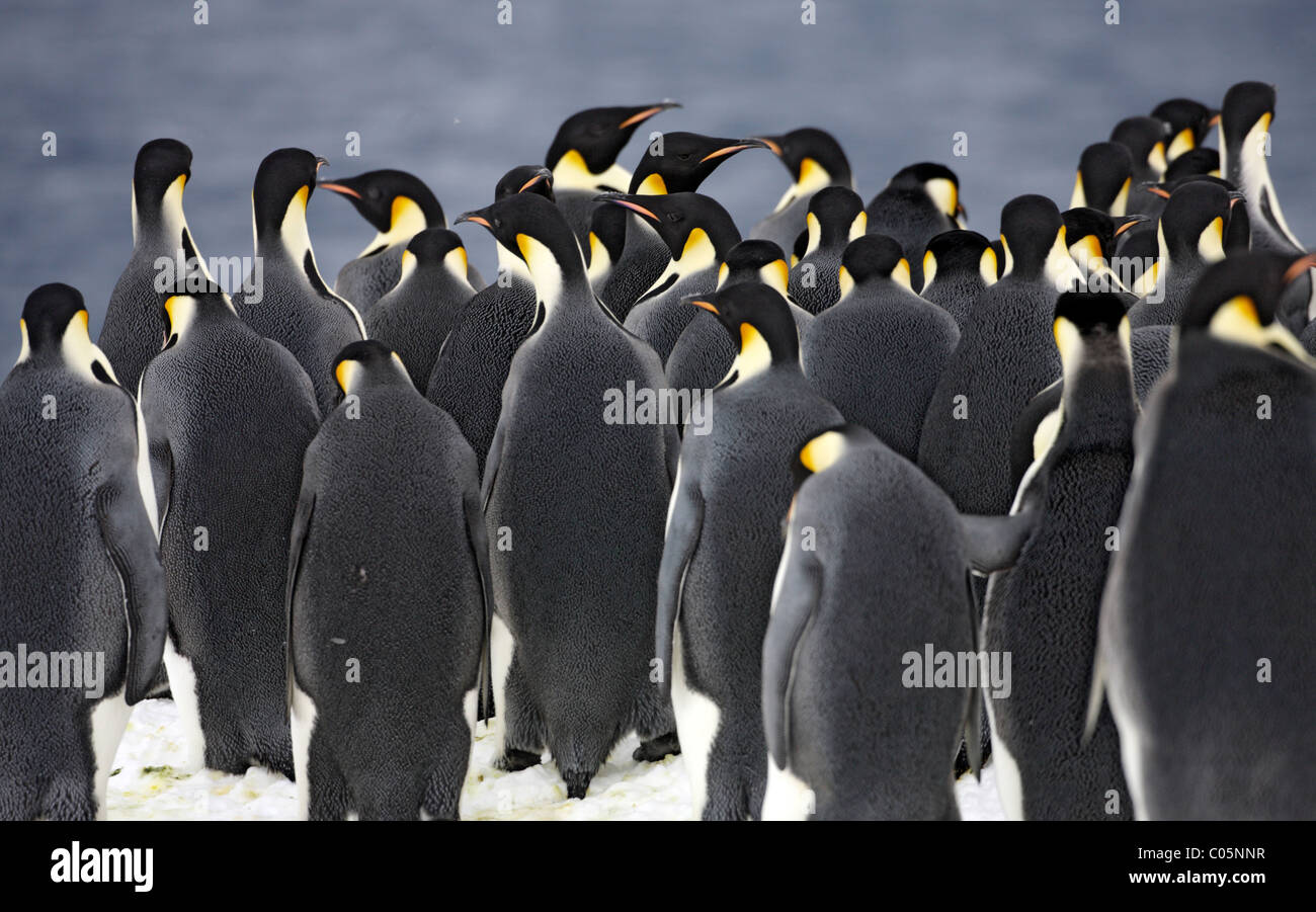 Emperor penguins gathering at ice edge before jumping into sea, October, Snow Hill Island, Weddell Sea, Antarctica. Stock Photo