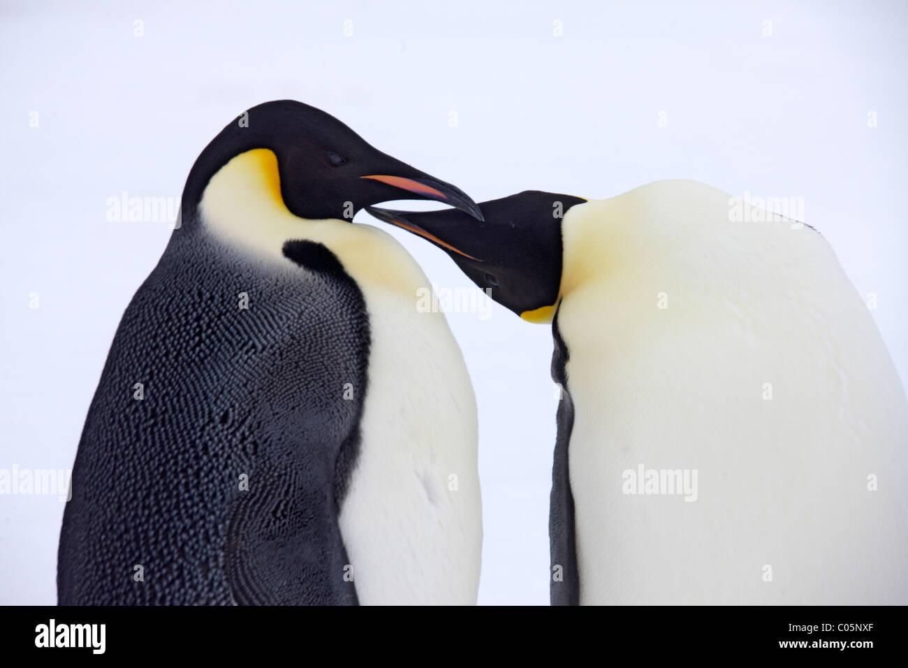 Emperor penguin couple, October, Snow Hill Island, Weddell Sea, Antarctica. - Stock Image