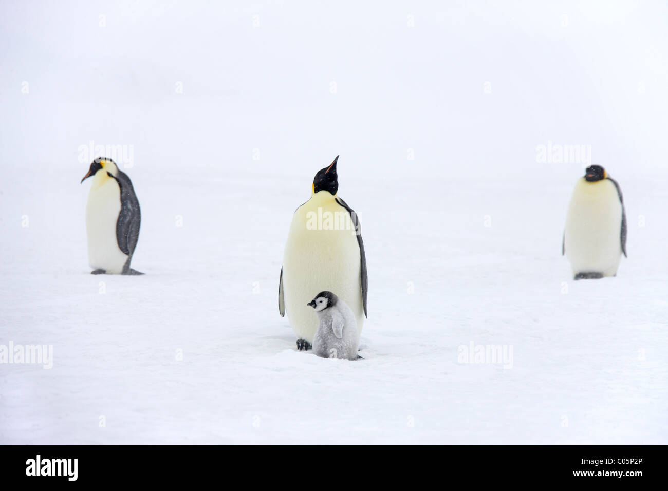 Emperor penguins with chick, October, Snow Hill Island, Weddell Sea, Antarctica. - Stock Image