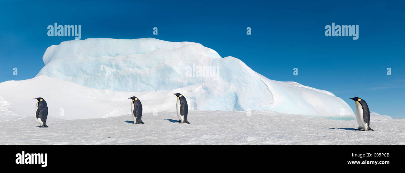 Emperor penguins walking on sea ice, October, Snow Hill Island, Weddell Sea, Antarctica. Stock Photo