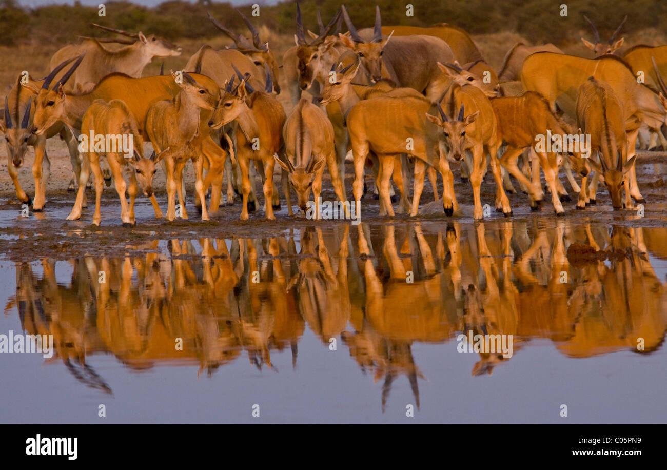 Eland herd at waterhole, Etosha National Park, Namibia. - Stock Image
