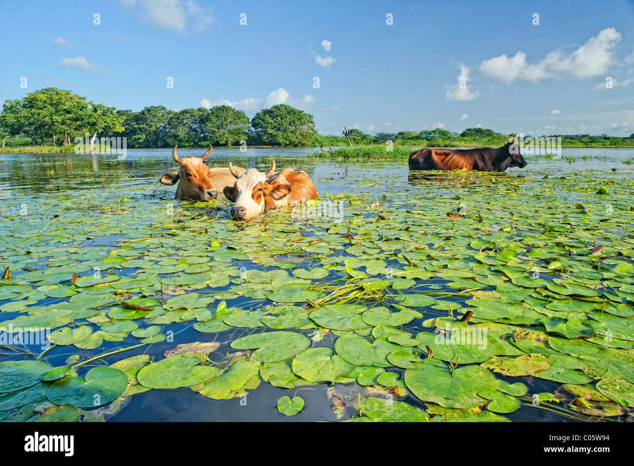 Cows feeding on warer lilies in Lago Negro in the Cano Negro area of Costa Rica. - Stock Image