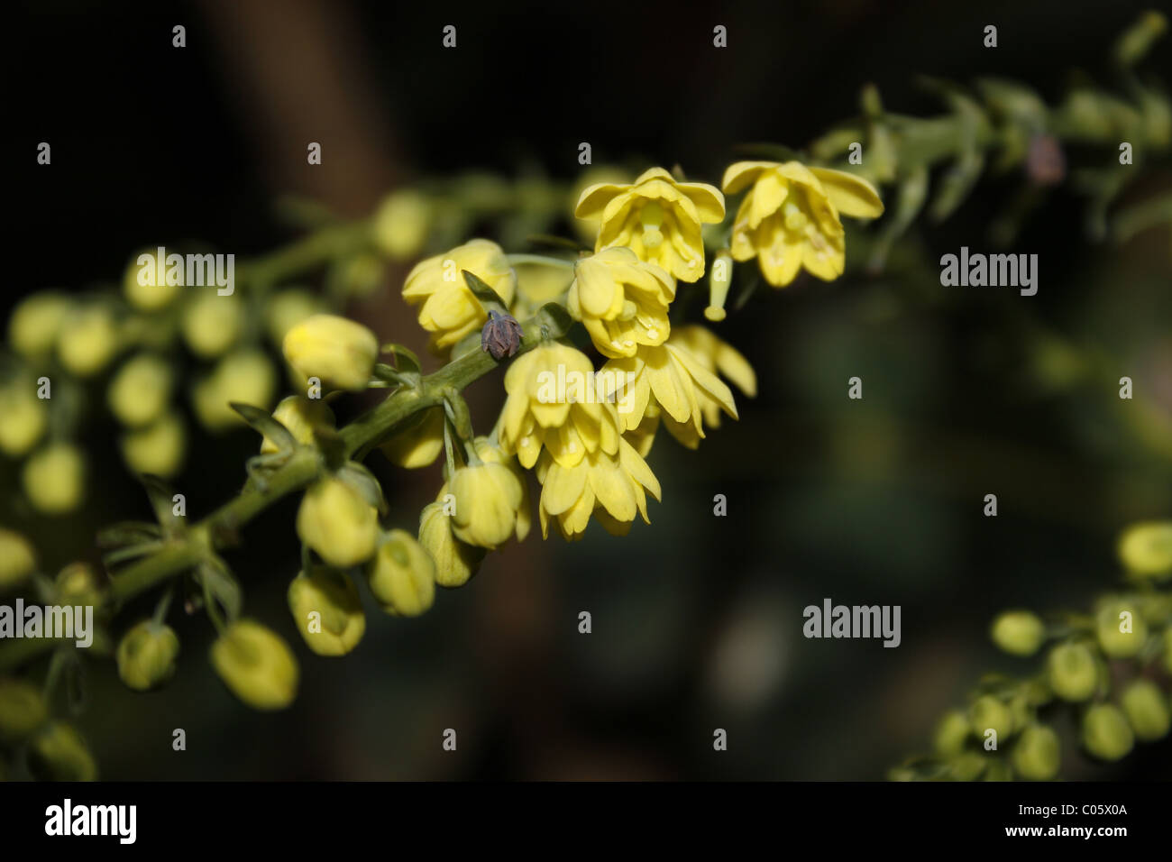mahonia flower - Stock Image