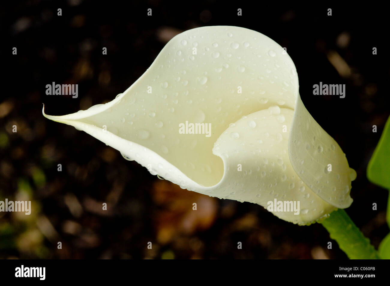 Calla Lily Flower Bud Opening. A creamy colored calla flower gradually opens after a rain shower covers its petal - Stock Image