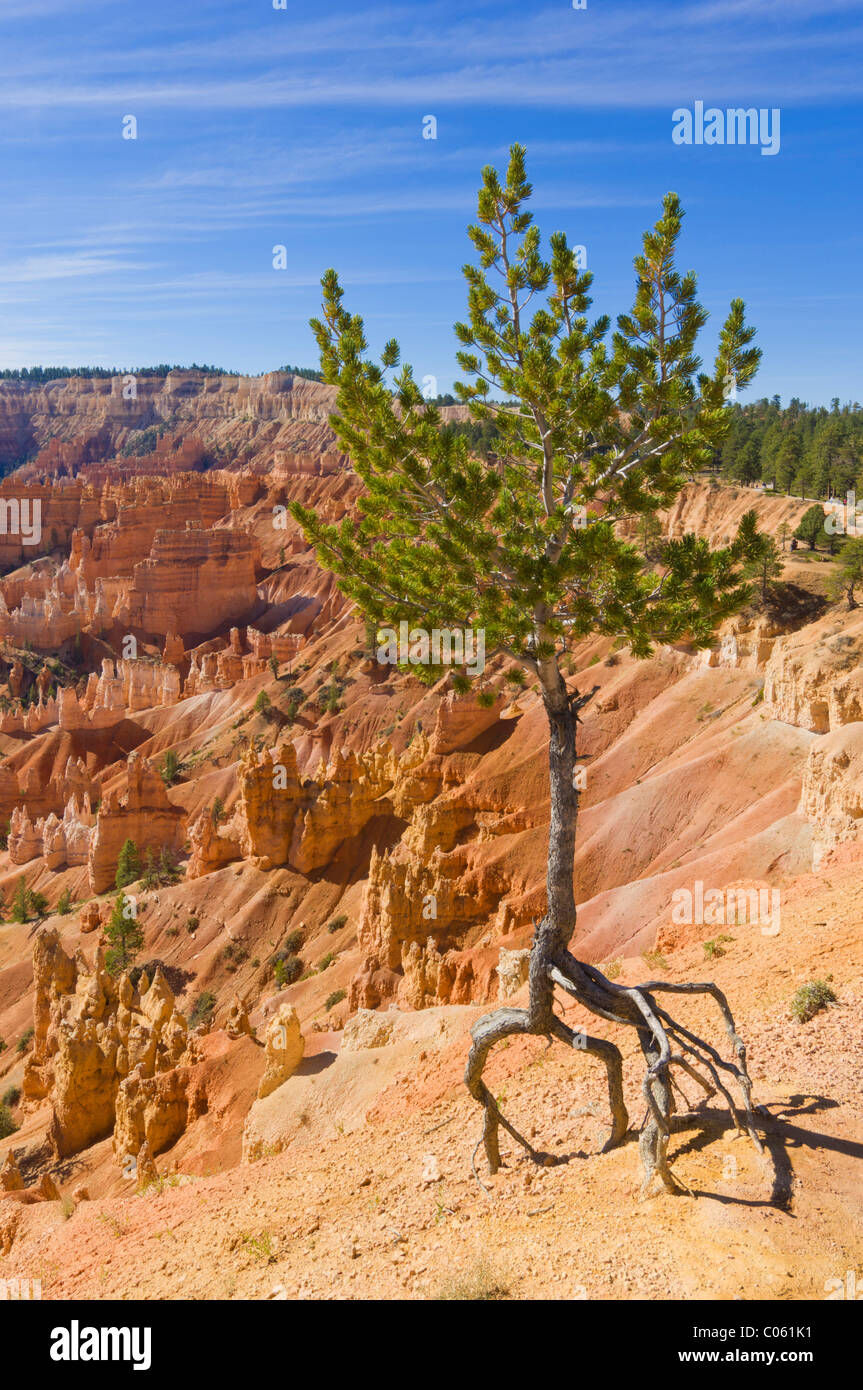 Limber pine, Pinus flexilis, at the edge of Bryce Amphitheater Sunrise point, Bryce Canyon National park Utah USA - Stock Image