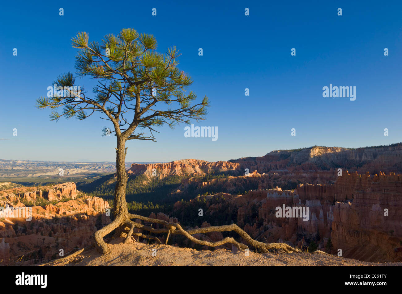 Limber pine, Pinus flexilis at the edge of Bryce Amphitheater Sunrise point, Bryce Canyon National Park, Utah, USA - Stock Image