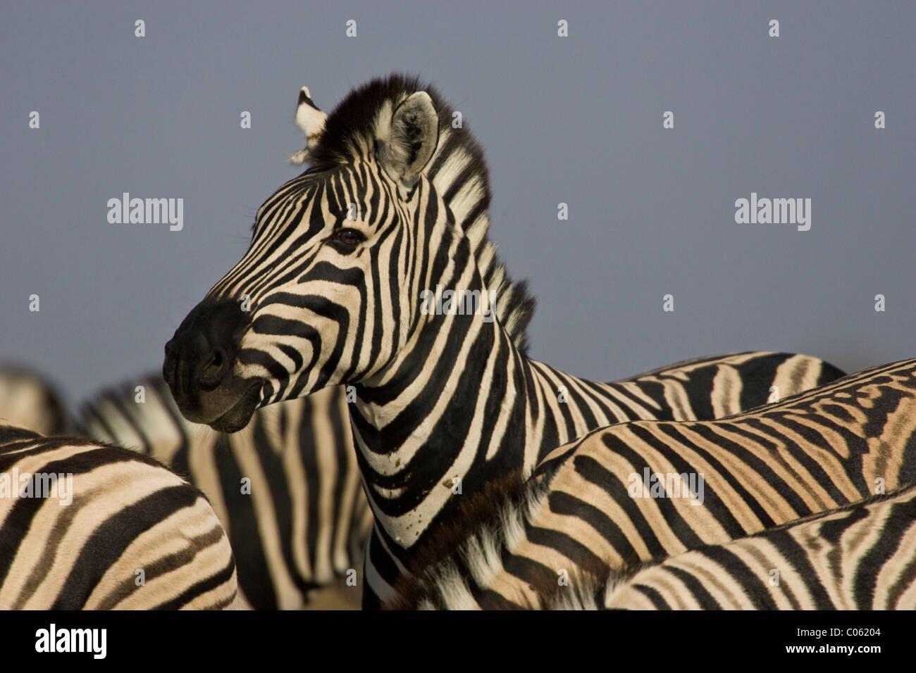 Zebra portrait, Etosha National Park, Namibia. - Stock Image