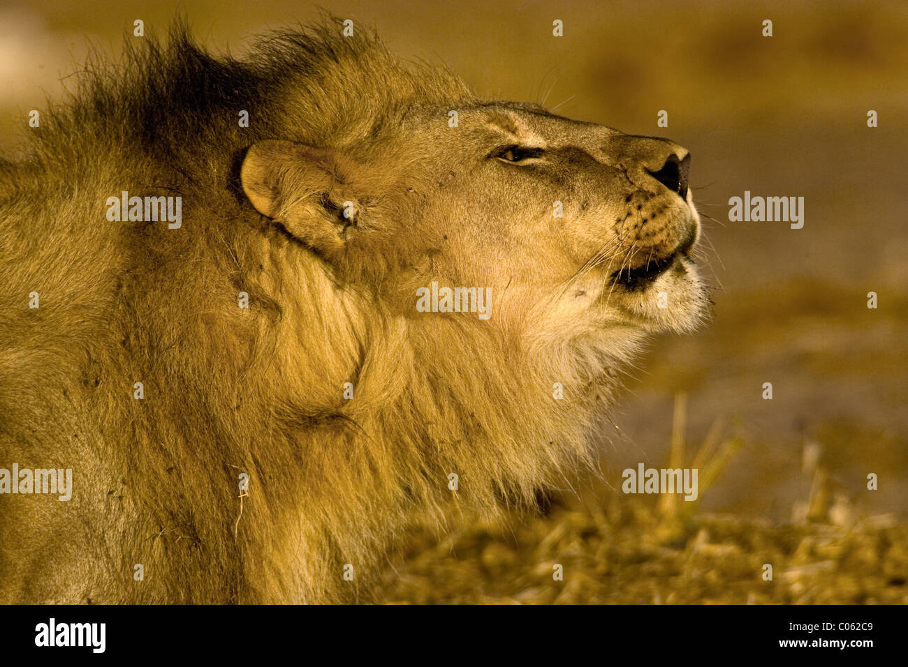 Roaring Lion portrait, Etosha National Park, Namibia Stock Photo