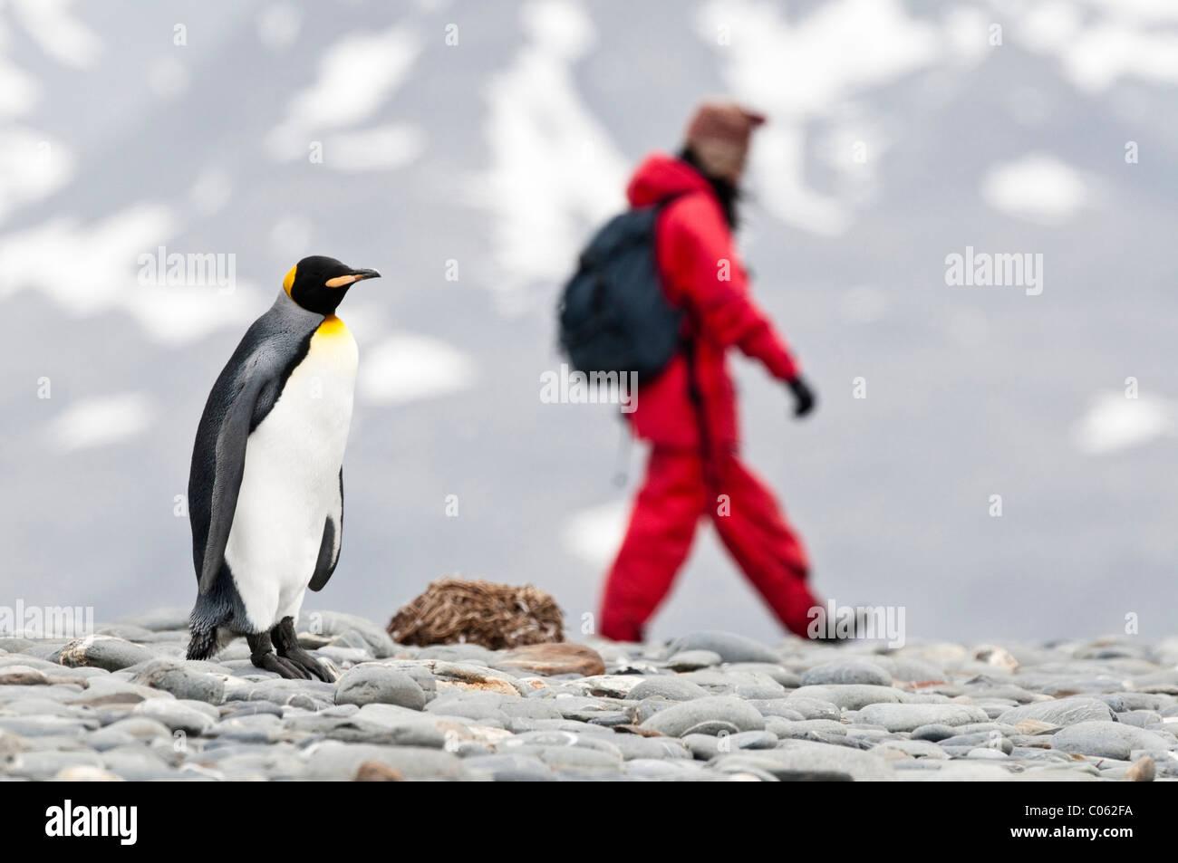 King Penguin with tourists on the beach at Salisbury Plain, South Georgia, South Atlantic - Stock Image