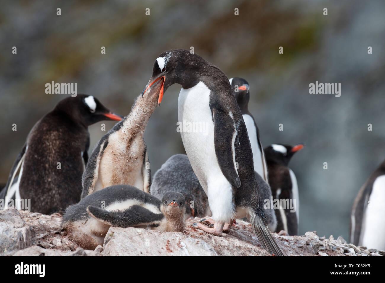 Gentoo Penguin feeding chick, Cuverville Island, Antarctica. - Stock Image