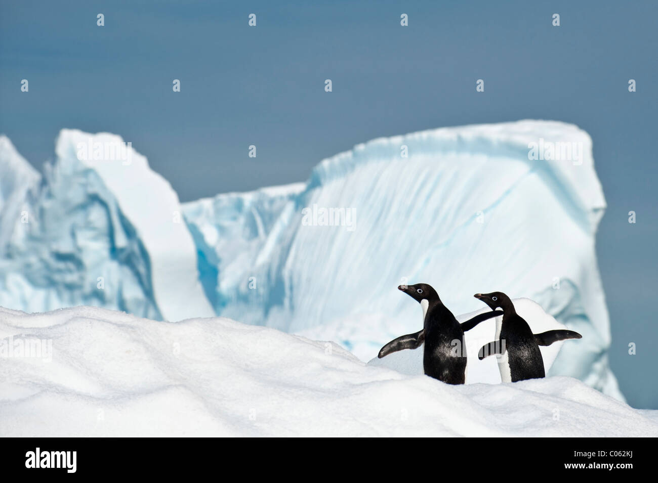 Adelie Penguins (Pygoscelis adeliae) on ice berg. Yalour Islands, Antarctic Peninsula, Antarctica. - Stock Image