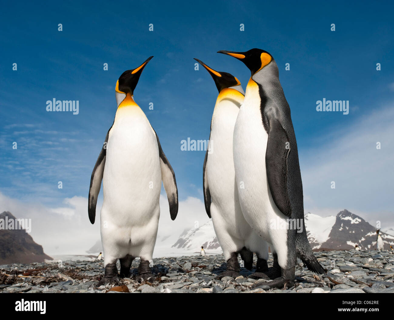 King Penguins on the beach at Salisbury Plain, South Georgia, South Atlantic. - Stock Image