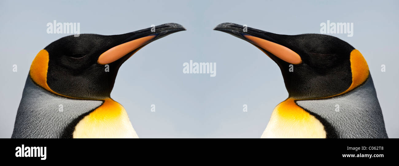 King Penguins, Salisbury Plain, South Georgia, South Atlantic. - Stock Image