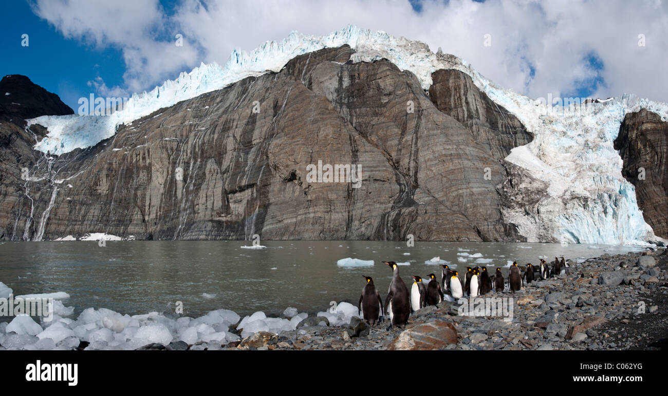 King Penguins at breeding colony. Gold Harbour, South Georgia, South Atlantic. - Stock Image