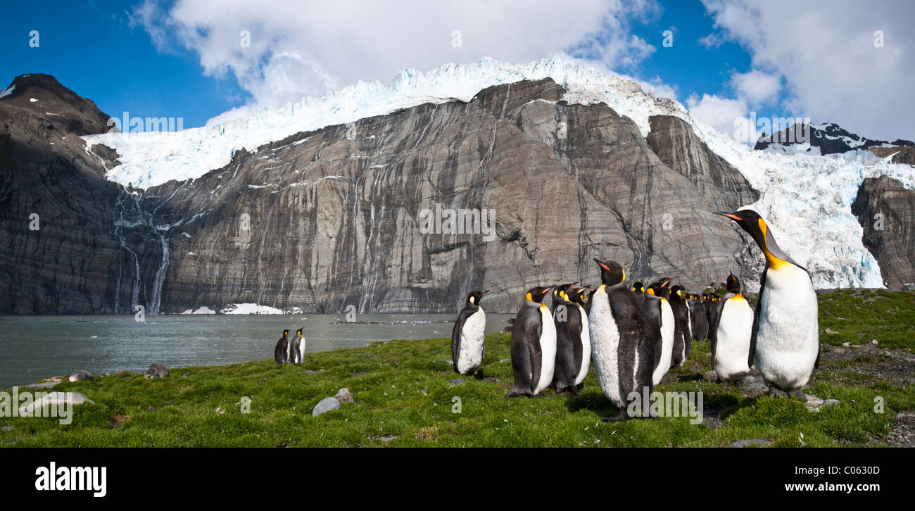King Penguins at breeding colony. Gold Harbour, South Georgia, South Atlantic - Stock Image