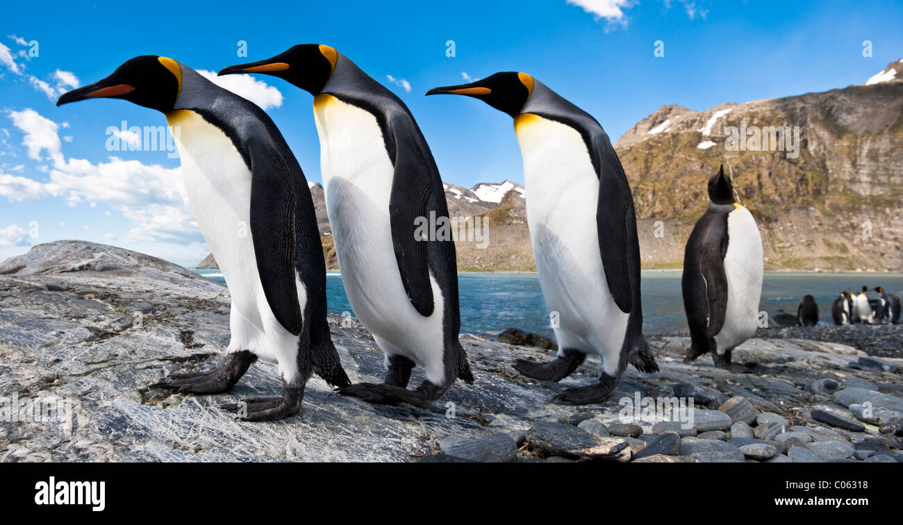 King Penguins at breeding colony, Gold Harbour, South Georgia, South Atlantic. - Stock Image