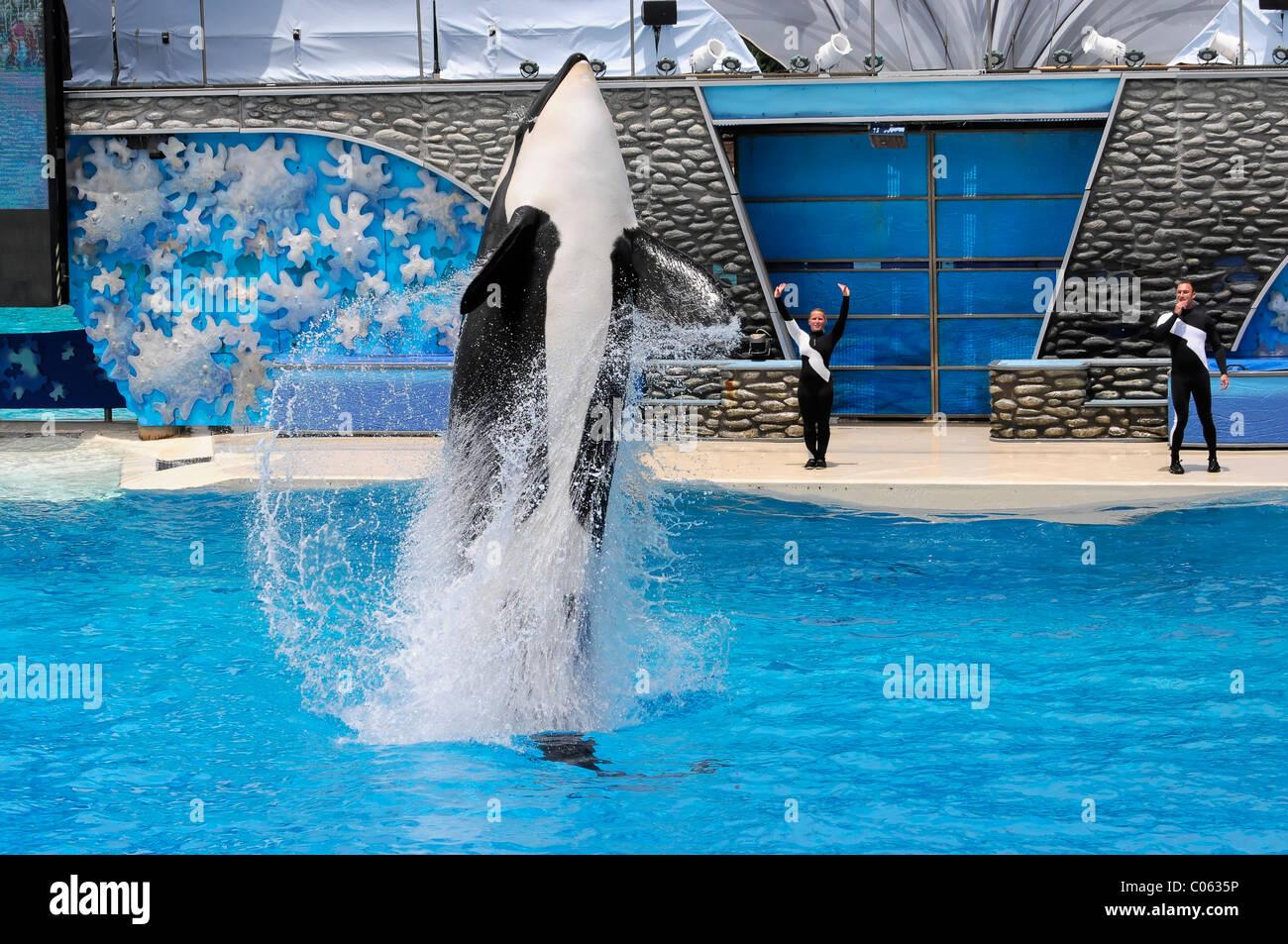 Trained Orca or Killer Whale (Orcinus orca), Shamu Stadium, SeaWorld, San Diego, California, USA - Stock Image